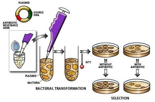 pglo plasmid on genetic transformation of Pglo bacterial transformation plasmid for regulated expression of gfp to see this sequence with restriction sites, features, and translations, please download.